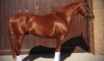 Sportlicher PRE: Verkaufspferd Doctor – VERKAUFT
