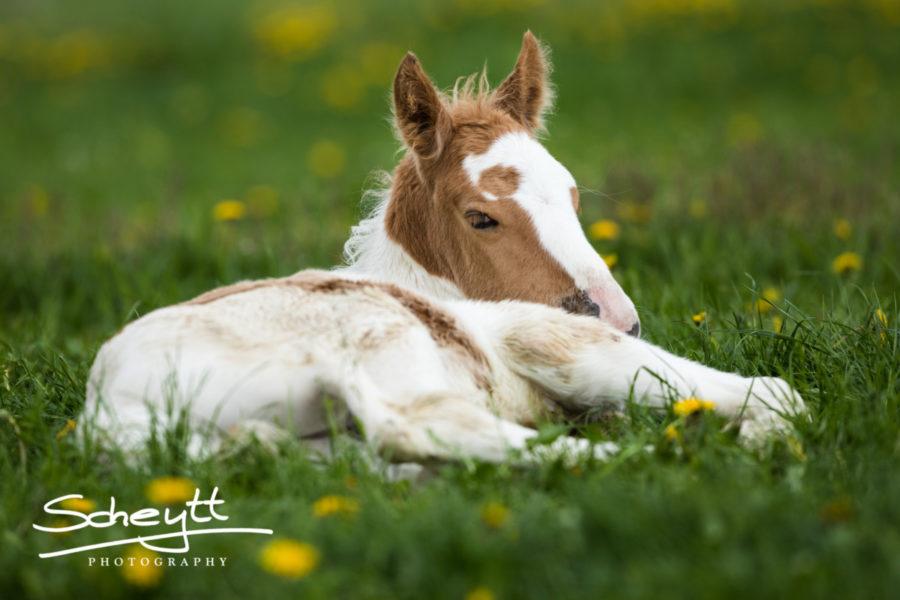 Pferdefotografie-Fohlen-900x600