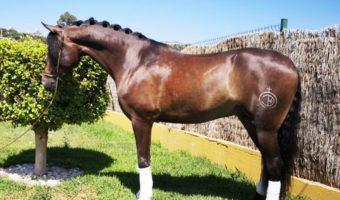 PRE-Dressurnachwuchs: Verkaufspferd Agente